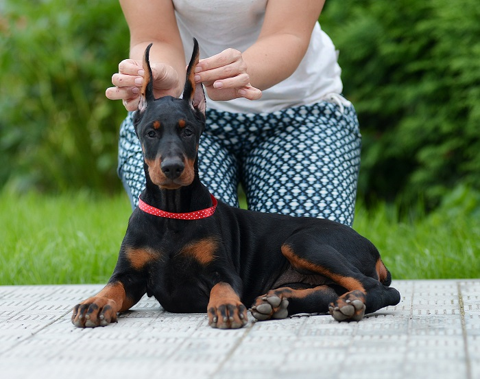 Aria Dobermans Puppies